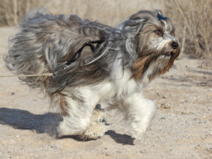 tibetan terrier in tucson